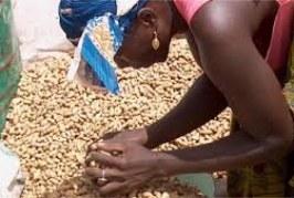 Dabola: La Fédération des Producteurs d'Arachide de la Haute Guinée sollicite l'arbitrage du Chef de l'Etat