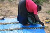 Guinée : Teinture au cœur de la Capitale des agrumes