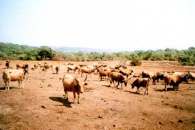 Elevage-Dabola : vers la mise à corde des animaux dans la préfecture